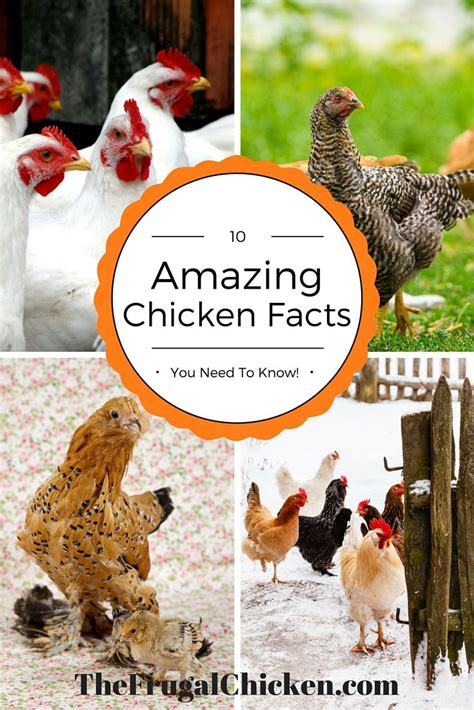 are chickens color blind 58 best podcasts about chickens homesteading ducks