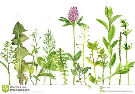 herb florist related keywords suggestions for herbs botanical illustrations