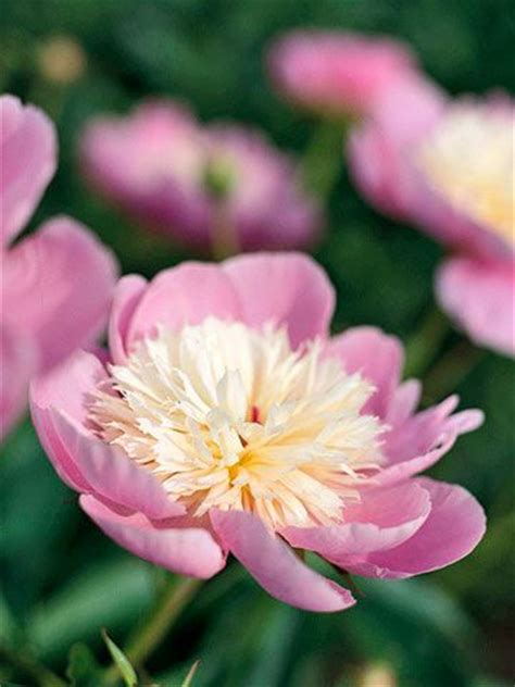 growing peonies in florida 25 best images about peony plants on pinterest