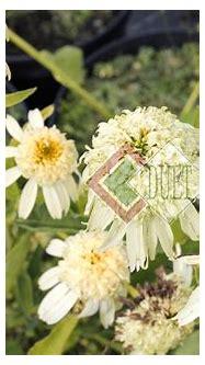 Echinacea 'Secret Joy'   Duet s.j. – Produkcja i ...