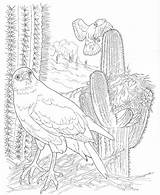 Coloring Desert Pages Saguaro Animals Sonoran Hawk Nature Harris Template Popular sketch template