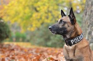 Royalty Free Belgian Malinois Pictures, Images and Stock ...
