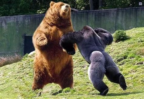 If A Silverback Gorilla And A Grizzly Bear Were To Fight