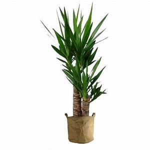 Plante D Intérieur Pas Cher : yucca 70cm achat vente plante pouss e yucca 70cm ~ Dailycaller-alerts.com Idées de Décoration