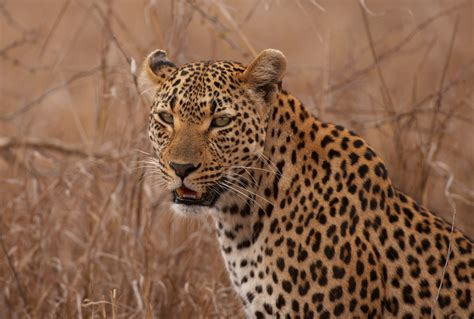 Facts about leopards - Swain Destinations Travel Blog