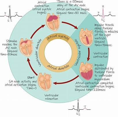 Cardiac Cycle Heart Ecg Conduction Explain Recording