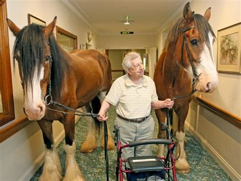 clydesdale nursing horses horse draft homes retirement residents clydesdales surprise long therapy giant visiting friendly facts wild giants cappello riding