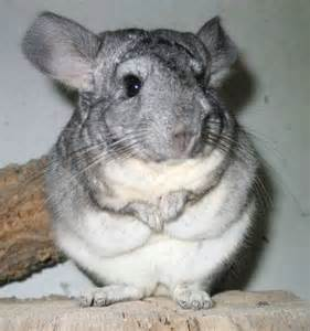 チンチラ:THE CHINCHILLA