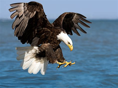 Eagle In Flight Wallpaper American Bald Eagle It 39 S Dinner Time This Was Taken At Flickr