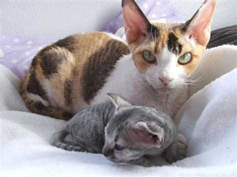 Devon Rex  Purrfect Cat Breeds