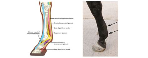 This small muscle is located at the top of the shoulder and helps raise the arm away from the body. Common Tendon and Leg Injuries | Australian Race Horse ...