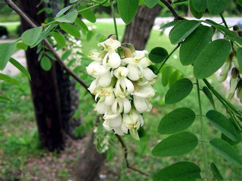 Robinia pseudoacacia / robīnija   Blooming trees, Bloom, Plants