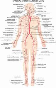 Human Body Arteries And Veins