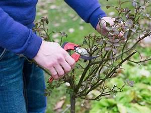Comment Tailler Les Rosiers : taille des rosiers comprendre le geste roses guillot ~ Nature-et-papiers.com Idées de Décoration