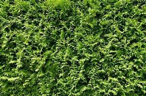 Thuja Hecke Düngen : thuja hecke lebensbaum smaragd lebensbaum hecke thuja ~ Lizthompson.info Haus und Dekorationen