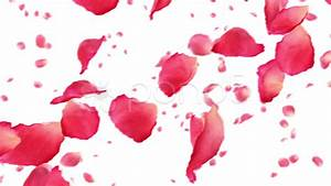Flying rose petals on white. HD 1080. Looped animation ...