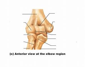 Anterior View At The Elbow Region