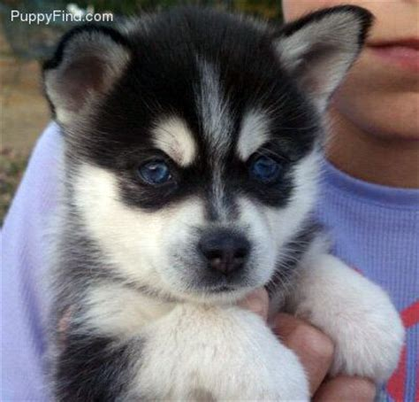 do pomskies shed bad pomsky puppy petsmart caves