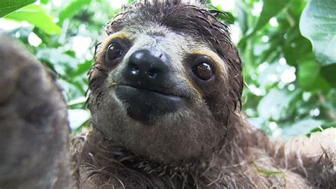 Sloth Images Inside A Baby Sloth Rescue Center