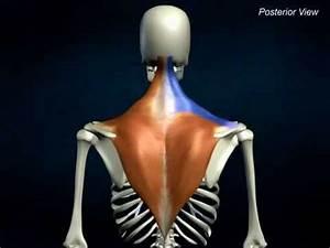 Trapezius - Anatomyonlinecourse