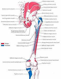 Muscle Insertions And Origins Of The Posterior Aspect Of