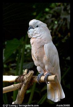 1000 images about moluccan cockatoo on pinterest