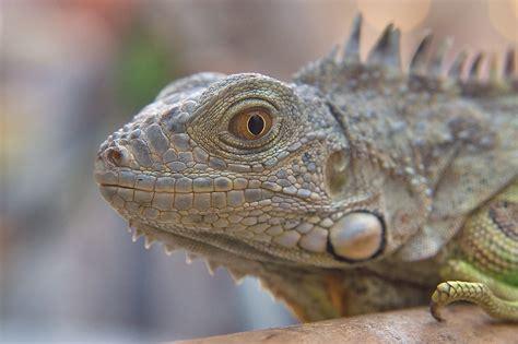 iguana pet slideshow 832 04 pet iguana for sale in souq waqif doha qatar