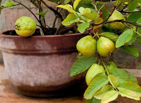 guava tree pot pots trees fruit growing buah tanaman care dalam containers balconygardenweb grow fertilizer ditanam yang biji jambu planting