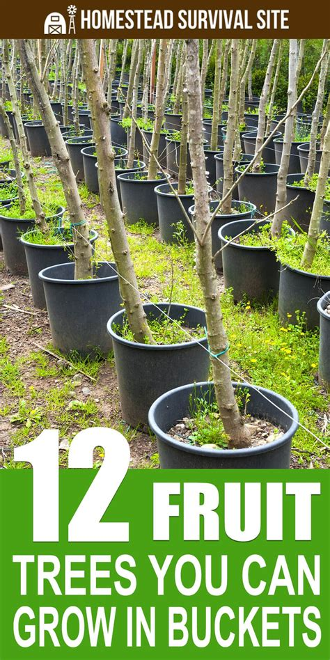 fruit trees   grow  buckets