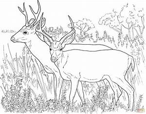 Two White Tailed Deers Coloring Page Free Printable