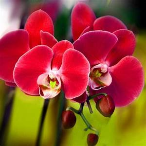 Popular Red Orchid Plant-Buy Cheap Red Orchid Plant lots ...