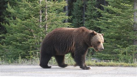 Brown Grizzly Bears Pictures
