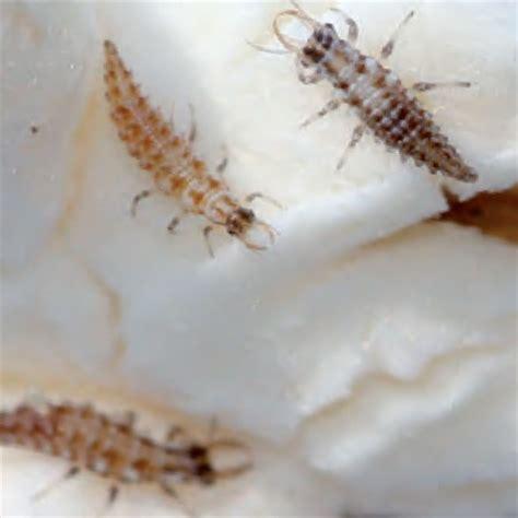 vers blanc cuisine vers blanc dans la maison 28 images vers blancs larves