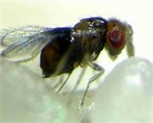 Larve Mite Alimentaire : trichogramma evanescens pour lutter contre les mites ~ Nature-et-papiers.com Idées de Décoration