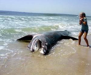 BASKING SHARK PICTURE: Giant Stranded on Long Island