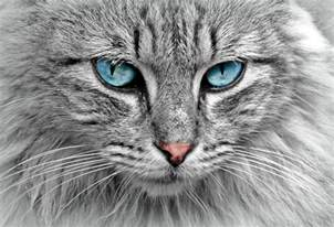 forest cat for 10 viking facts about the forest cats