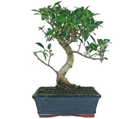 feeding fig trees in pots ficus fig indoor bonsai tree 19cm pot