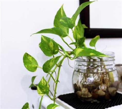 tanaman hias philo sirih tanaman hias pembersih udara dalam ruangan bibitbunga