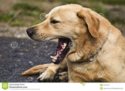 Cute dog yawning