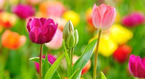 cuisine dans veranda tulipe semis entretien culture et arrosage
