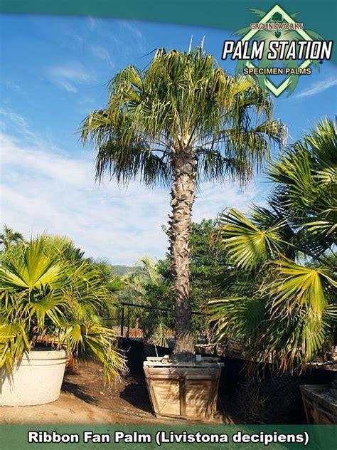 ribbon fan palm groundworks palm station