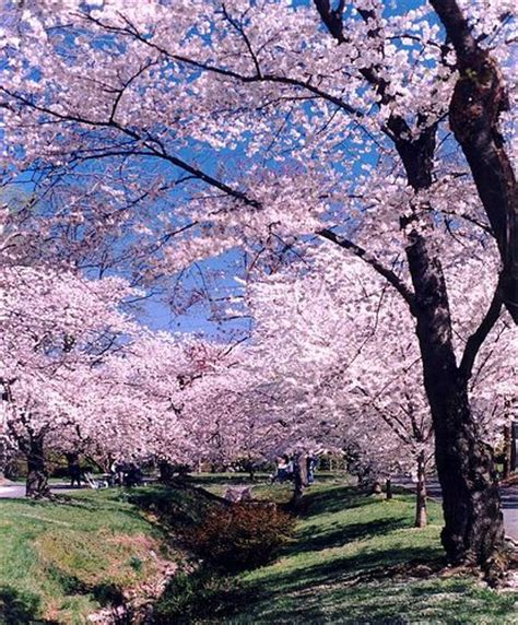 17 best images about cheery 17 best images about cherry blossom on blossom