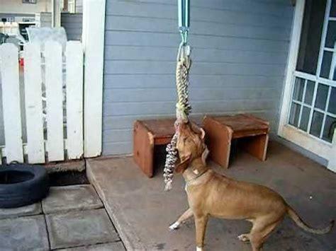 pitbull traininghow    dog ripped  muscle