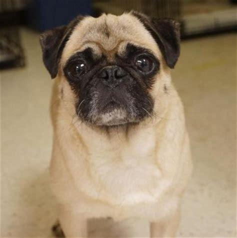 pug dog  goldenacresdogscom