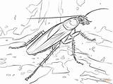 Cockroach Coloring Drawing Cave Printable Cockroaches Balance Bat Roach Madagascar Template Beam Triple Sheet Getcolorings Coloringbay Paper Results sketch template