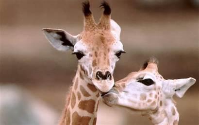 Giraffe Animal Background Wallpapers