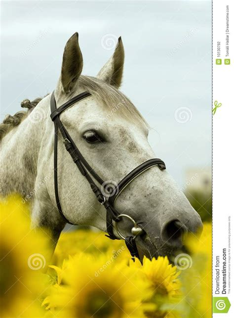 white horse  sunflower field stock photography image