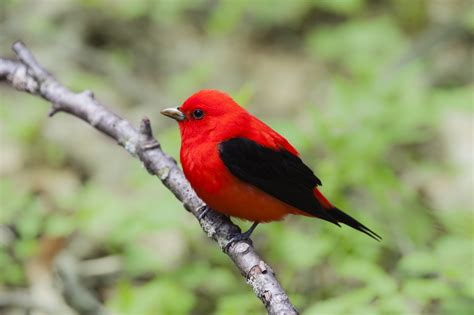point pelee algonquin park birding  warbler