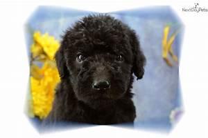 Meet DHBWM7 a cute Shepadoodle puppy for sale for $1,000 ...