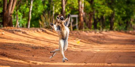 leaping lemur likes  move  move  huffpost uk